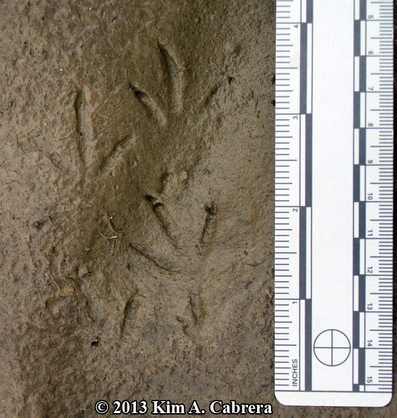 mourning dove tracks