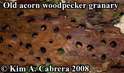 Old acorn woodpecker granary tree. Photo copyright by Kim A. Cabrera 2008.