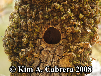 Acorn woodpecker nest hole. Photo copyright by Kim A. Cabrera 2008.