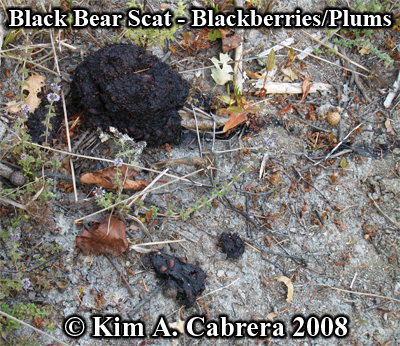 Black bear scat                   composed of plum pits and blackberries. Photo                   copyright by Kim A. Cabrera 2008.