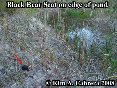 Location of Black bear scat, composed of                           blackberries, on the edge of a pond. Photo                           copyright by Kim A. Cabrera 2008.