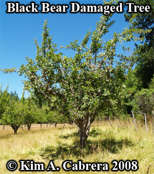 Apple tree showing damage caused by a                           black bear. Photo copyright by Kim A. Cabrera                           2008.