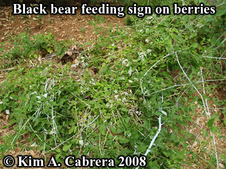 Black bear feeding signs in blackberry                           plants. Photo copyright by Kim A. Cabrera                           2008.