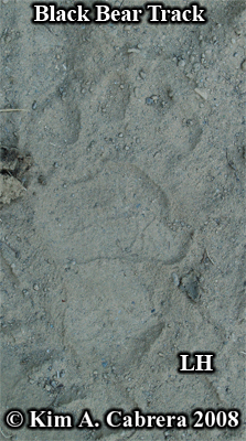 Left hind track of a black bear. Photo                           copyright by Kim A. Cabrera 2008.