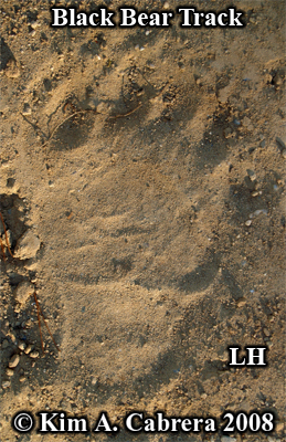 Bear track left hind foot. Photo                           copyright by Kim A. Cabrera 2008.