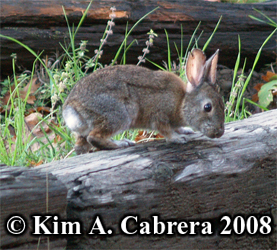 Brush                   rabbit. Photo copyright Kim A. Cabrera 2008.
