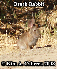 Brush rabbit. Photo copyright by Kim A. Cabrera 2008.