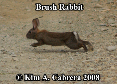 Brush rabbit running. Photo copyright by Kim A. Cabrera 2008.