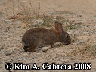 Brush                   rabbit feeding. Photo copyright by Kim A. Cabrera                   2008.