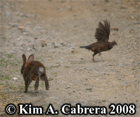 Brush rabbit and California quail. Photo                   copyright by Kim A. Cabrera 2008.