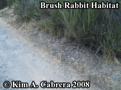 Brush rabbit habitat along a dirt road. Photo                     copyright by Kim A. Cabrera 2008.