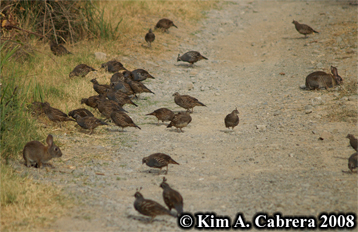 Two Brush rabbits and a covey of quail. Photo                     copyright by Kim A. Cabrera 2008.
