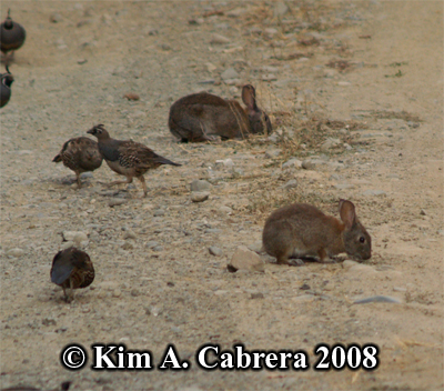 Pair of Brush rabbits and quail. Photo                     copyright by Kim A. Cabrera 2008.