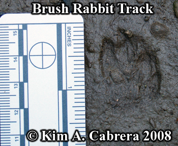 Brush rabbit track in mud. Photo copyright                       Kim A. Cabrera 2008.