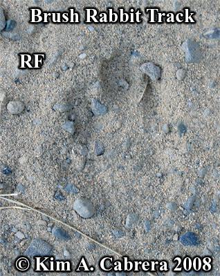 Right                   front track of a brush rabbit. Photo copyright by Kim                   A. Cabrera 2008.