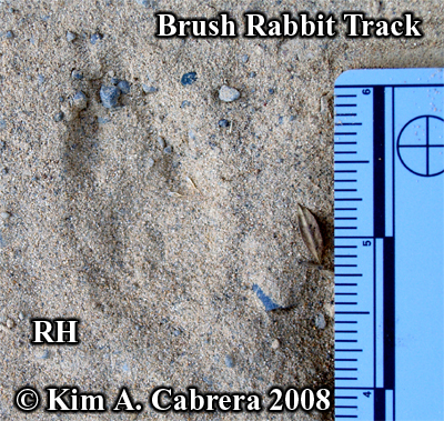 Right hind track of a brush rabbit. Photo copyright by Kim A. Cabrera 2008.