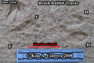 Brush rabbit tracks and deer track. Photo copyright by Kim A. Cabrera 2008.