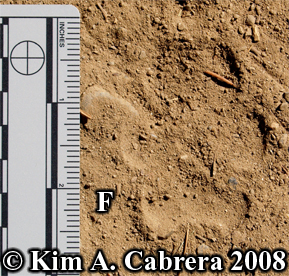 Coyote front track. Pawprint in dusty soil. Photo copyright Kim A. Cabrera 2008.