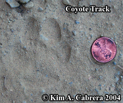 Coyote track in dust. Photo copyright by Kim A. Cabrera 2004.