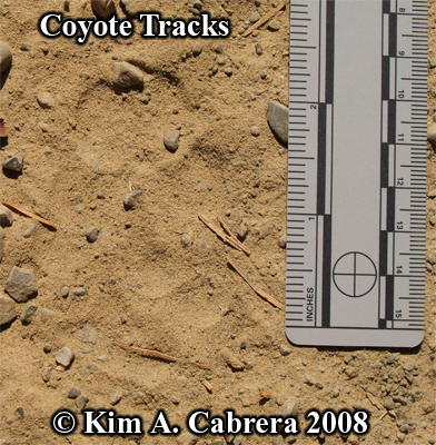 Coyote tracks in dust. Photo copyright by Kim A. Cabrera 2008.