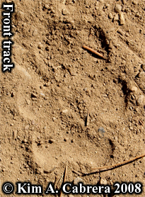 Coyote front track. Paw print shows no claws due to terrain. Photo copyright Kim A. Cabrera 2008.