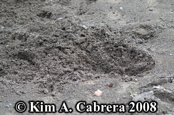 Domestic dog digging in sand. Photo copyright Kim A. Cabrera 2008.