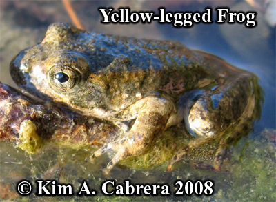 Yellow legged frog. Photo copyrght by Kim A.                     Cabrera 2008.