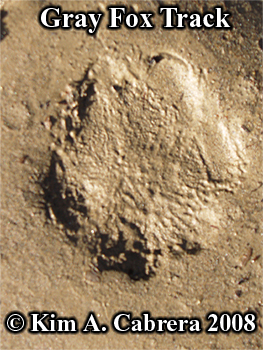 Gray fox track showing fuzziness due to fur. Photo copyright by Kim A. Cabrera 2008.