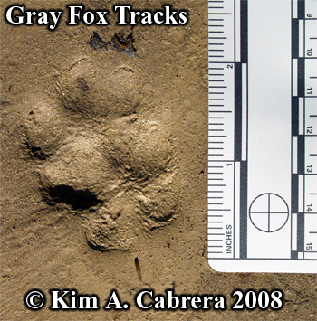 overlapping pair of gray fox tracks. Photo copyright by Kim A. Cabrera 2008.