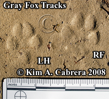 Perfect set of Gray fox tracks. Photo copyright by Kim A. Cabrera 2008.