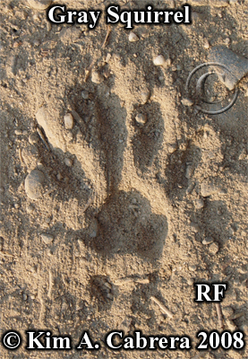 Gray squirrel track from right front paw. Photo copyright by Kim A. Cabrera 2008.