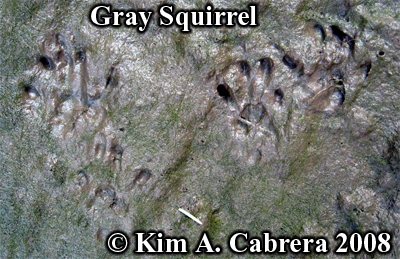 Gray squirrel tracks. Photo copyright by Kim A. Cabrera 2008.