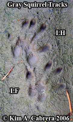 Pair of left gray squirrel tracks. Photo copyright by Kim A. Cabrera 2006.