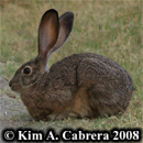 Blacktailed jackrabbit resting. Photo copyright by Kim A. Cabrera 2008.