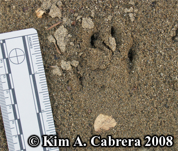 Blacktailed jackrabbit toe prints in sand. Photo copyright Kim A. Cabrera 2008.
