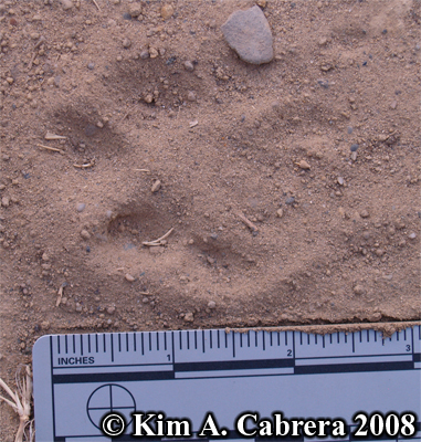 Blacktailed jackrabbit track in dust. Photo copyright by Kim A. Cabrera 2008.