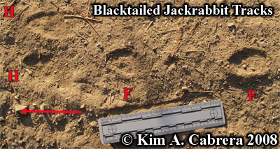 Blacktailed jackrabbit paw prints. Photo copyright by Kim A. Cabrera 2008.