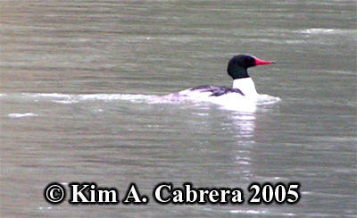 Merganser showing breeding plumage.                             Photo copyright by Kim A. Cabrera 2005.