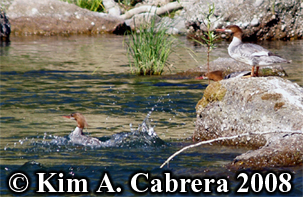Three mergansers resting on a rock.                             Photo copyright Kim A. Cabrera 2008.