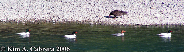 Mergansers swim past a turkey vulture                             on shore. Photo copyright by Kim A. Cabrera                             2006.