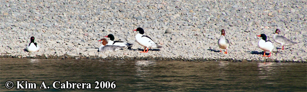 Mergansers on shore. Photo copyright by                             Kim A. Cabrera 2006.