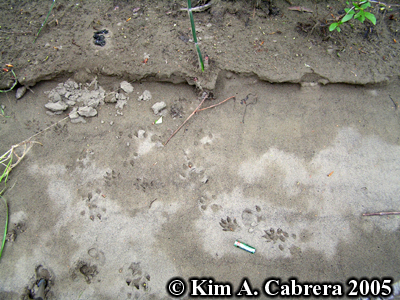 Mink tracks showing where mink investigated otter scat. Photo copyright by Kim A. Cabrera 2005.