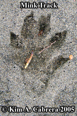 Mink track in sand. Photo copyright by Kim A. Cabrera 2005.