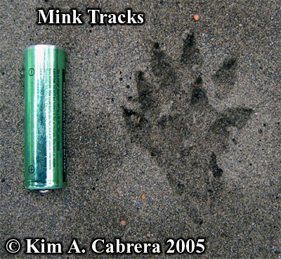 Mink tracks in sand. Photo copyright by Kim A. Cabrera 2005.