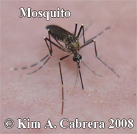 Mosquito. Photo copyright by Kim A. Cabrera                     2008.