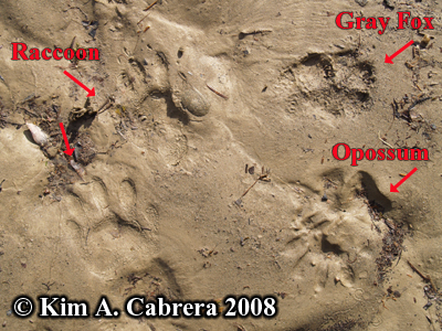 Tracks of an opossum, raccoon, and gray                         fox. Photo copyright by Kim A. Cabrera 2008.