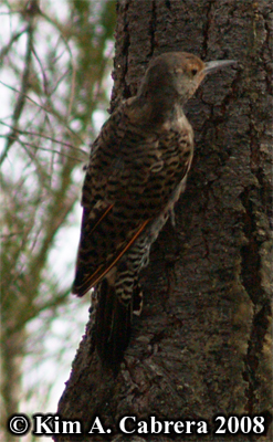 Northern flicker on a tree. Photo copyright by Kim A. Cabrera 2008.