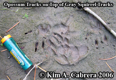 Opossm tracks on top of gray squirrel tracks. Photo copyright by Kim A. Cabrera 2006.