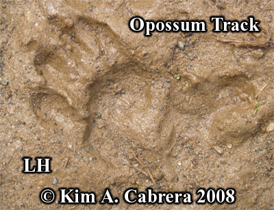 Opossum hind track. Photo copyright by Kim A. Cabrera 2008.