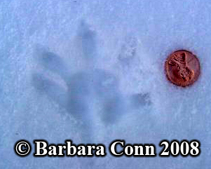 Opossum front track in snow. Photo copyright                       Barbara Conn 2008.